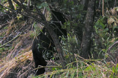 A black bear spotted along Power Creek road.