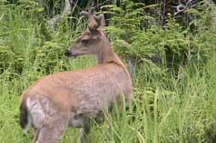 An Alaskan Sitka Blacktail deer